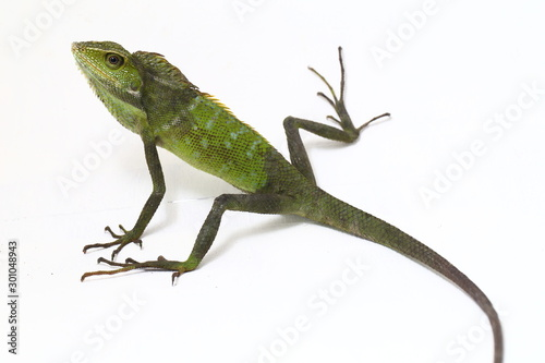 Bronchocela jubata, commonly known as the maned forest lizard, is a species of a Wallpaper Mural