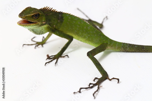 Bronchocela jubata, commonly known as the maned forest lizard, is a species of a Canvas Print