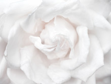 Fresh Rose Sweet Light White Petal Flower Patterns Blooming For Valentine Day Or Wedding Natural Background