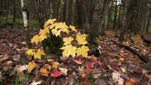 Young Maple Tree With Yellow A...