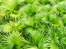 Saw Palmetto Extract Is An Extract Of The Fruit Of The Saw Palmetto.