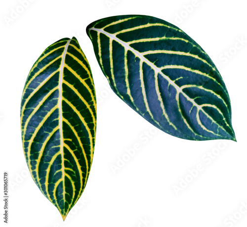 Green yellow leaves pattern of Sanchezia Speciosa Leonard,The Zebra Plant leaf p Wallpaper Mural