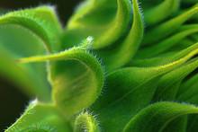 Sunflower Bracts