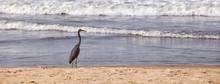 A Heron On The Beach Walks In ...