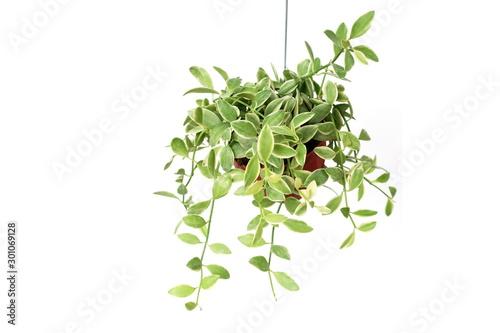 Tela Green plant Hanging isolated on white background
