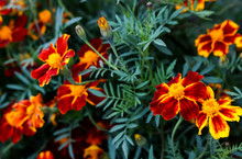 Summer Elegant Closeup Of The Blooming Tagetes Or Marigold Buds Of The Flower. Beautiful Orange And Yellow Blossoms In The Garden Sunlight. Fresh Foliage Natural Dreamy Background In Vibrant Color.