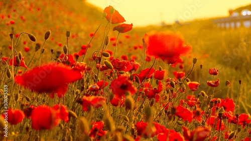 Foto auf Leinwand Mohn Field of Corn Poppy Flowers Papaver rhoeas in Spring