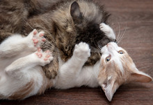 Two Cats Are Playing And Fight...