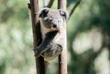 The Young Koala Is Climbing A Tree