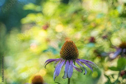 Fototapeta Detail of an ovule of a purple flower
