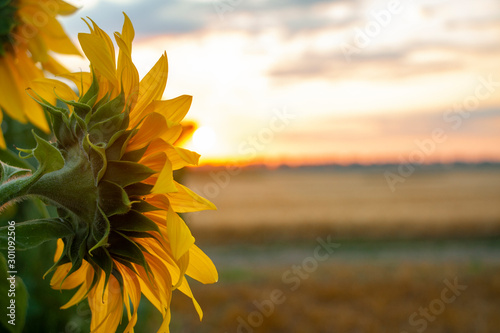 Cadres-photo bureau Tournesol High-oleic sunflower growing in Ukraine on the field. Agriculture where sunflowers are grown. Morning landscape with sunrise and bright sunshine. Culture for the production of vegetable oil.