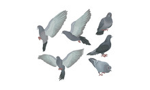 Bluish Grey Pigeons In Motions...