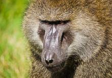 Baboon. Marmoset Monkey African Savannah. Baboon In Their Natura