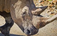 Rhinoceros In The African Savannah. Large Herbivorous Mammal Afr