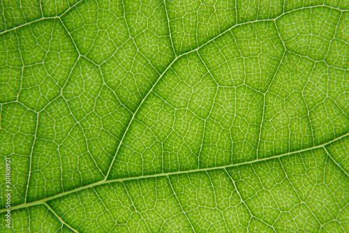 Obraz Macro shot of green leaf texture - fototapety do salonu