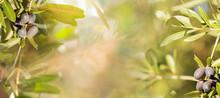 Nature Website Banner Of Olive...