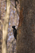 Large Black Woodpecker In A Na...