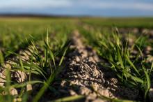 Young Wheat Seedlings Growing ...