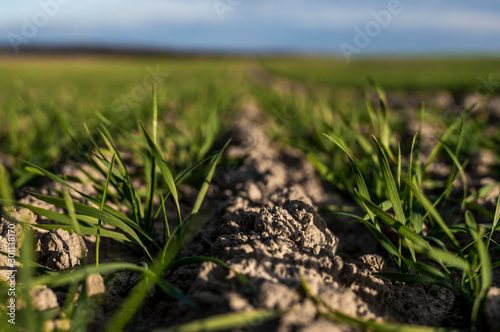 Obraz Young wheat seedlings growing on a field in autumn. Young green wheat growing in soil. Agricultural proces. Close up on sprouting rye agriculture on a field sunny day with blue sky. Sprouts of rye. - fototapety do salonu