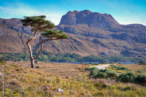 Vászonkép caledonian tree with siloch mountain in the scottish highlands