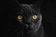 Black British Cat Closeup  With Yellow Eyes In Dark Background. Wallpaper