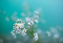 Wild White Daisy Blue Tones Flowers