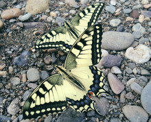 Machaon Butterflies On Stones ...
