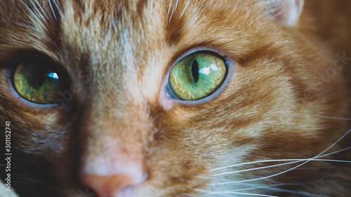 Valokuva ginger cat eyes close-up