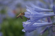 Blooming Blue Agapanthus With ...