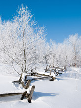 In A Snowy Landscape, A Split Cedar Fence Winds Its Way Through Hoar Frost Covered Trees Under A Blue Sky
