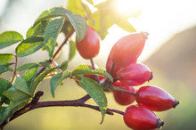 Autumn Or Summer Nature Background With Rose Hips Branches In The Sunset Light.