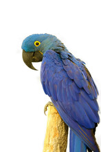 The Hyacinth Macaw (Anodorhync...