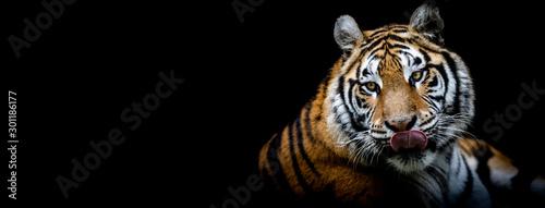 Obraz Tiger with a black background - fototapety do salonu
