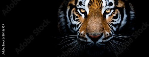 Canvas-taulu Tiger with a black background