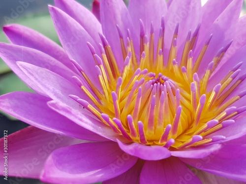 Fond de hotte en verre imprimé Nénuphars pink water lily