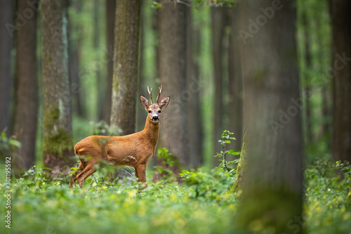 Obraz na plátně Roe deer, capreolus capreolus, standing in the middle of the woods with low green vegetation