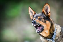 Aggressive Dog Portrait Shows ...