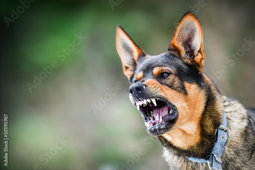 Fototapeta Aggressive dog portrait shows dangerous teeth