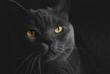 Black British Cat Closeup  Wit...