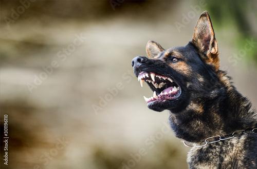 Carta da parati Aggressive dog shows dangerous teeth