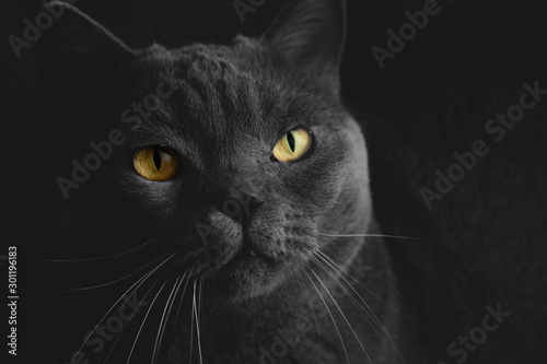 Black British Cat Closeup With Yellow Eyes In Dark Background Wallpaper Buy This Stock Photo And Explore Similar Images At Adobe Stock Adobe Stock