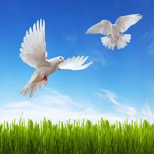 White Dove, Grass And Sky