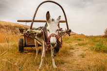 White Donkey With A Cart In Th...