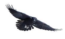 Common Raven In Flight On Whit...