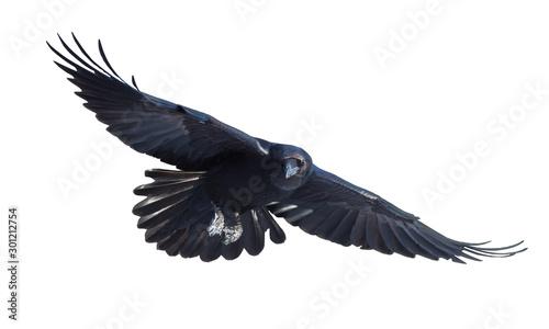 Fotografija Common raven in flight on white background