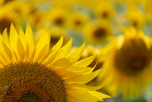 A Field Of Sunflowers In Summer Attracts Native Bees And Other Pollinators.