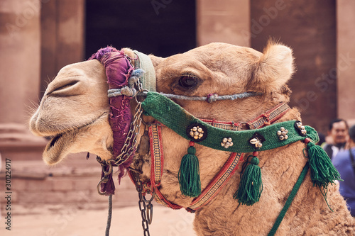 Fond de hotte en verre imprimé Chameau Portrait of camel in close up view, Petra, Jordan