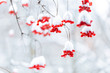 Leinwanddruck Bild - Bright red berries of viburnum under the snow hats.