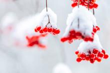 Bright Red Berries Of Viburnum...
