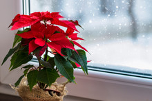 Red Poinsettia, A Traditional ...